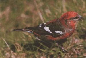 Клест птица фото