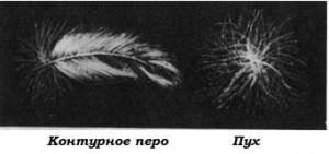 Строение пера птицы