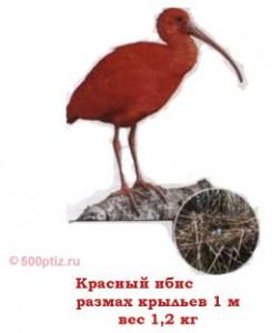 Ибис птица