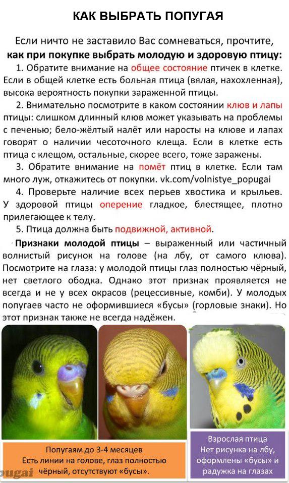 Как выбрать волнистого попугая