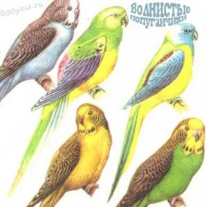 Волнистые попугаи: содержание и уход