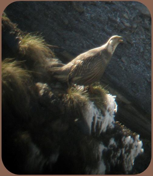 Горная индейка