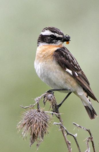 Птица чекан