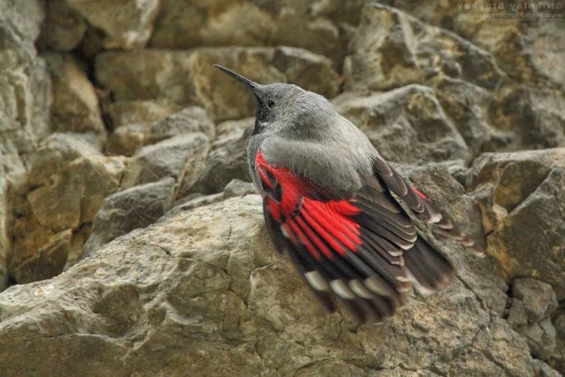 Птица стенолаз