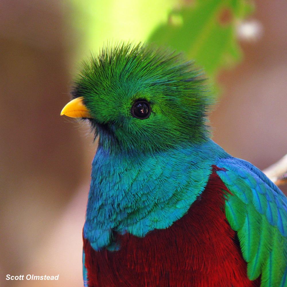 Квезаль птица