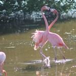 Отряд фламингообразные: фламинго