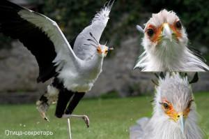 Семейство птицы-секретарь