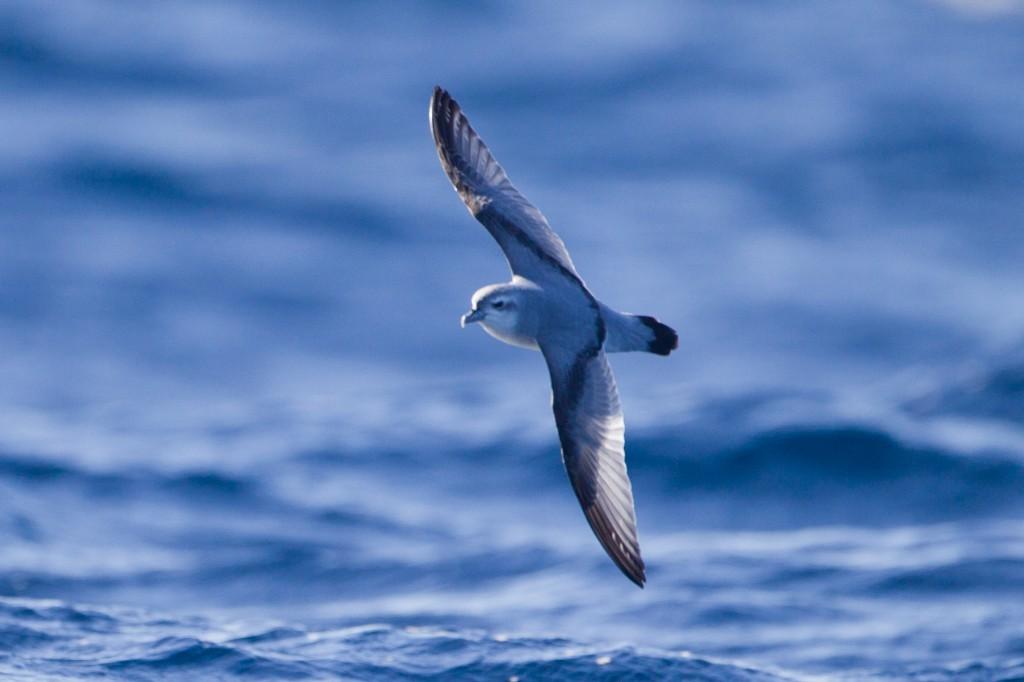 Снеговая китовая птичка