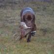 Охота на фазанов видео