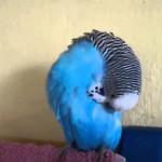 Обучение попугаев разговору