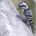 Птицы на букву Д