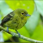 Птицы на букву Й: йора зеленая