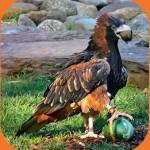Птицы на букву К: коршун канюковый