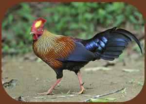 Цейлонская джунглевая курица