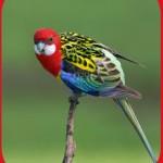 Птицы на букву Р