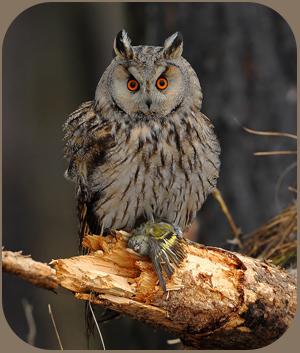 Ушастая сова фото