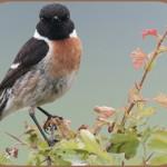 Птицы на букву Ч