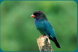 Птицы на букву Ш