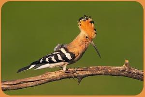 Птицы на букву У