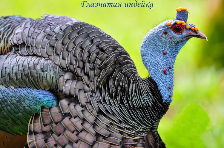 Индейка птица